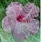 Rózsaszín hibiszkusz  gyöngyfüggöny mögött